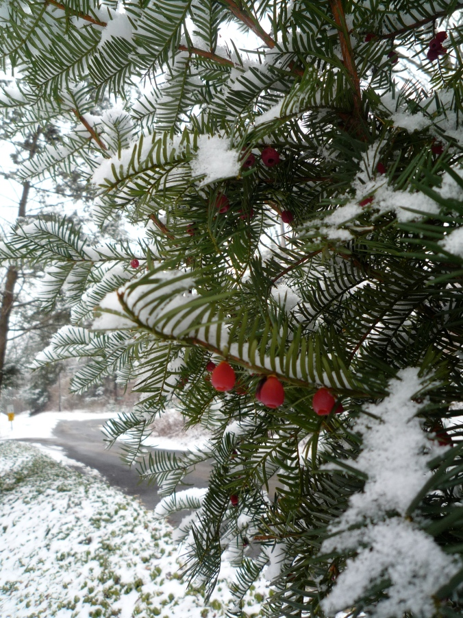 holly-in-snow