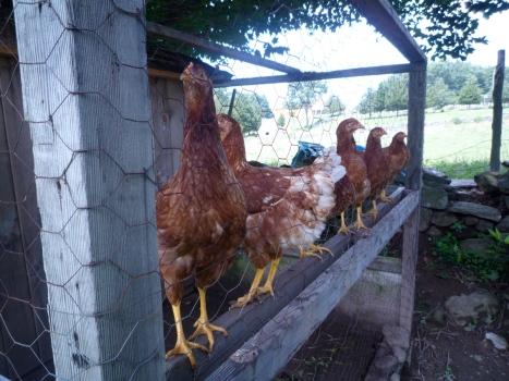 Chicken-Coop